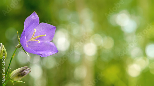 Photo Flower Blue campanula on the edge of the forest