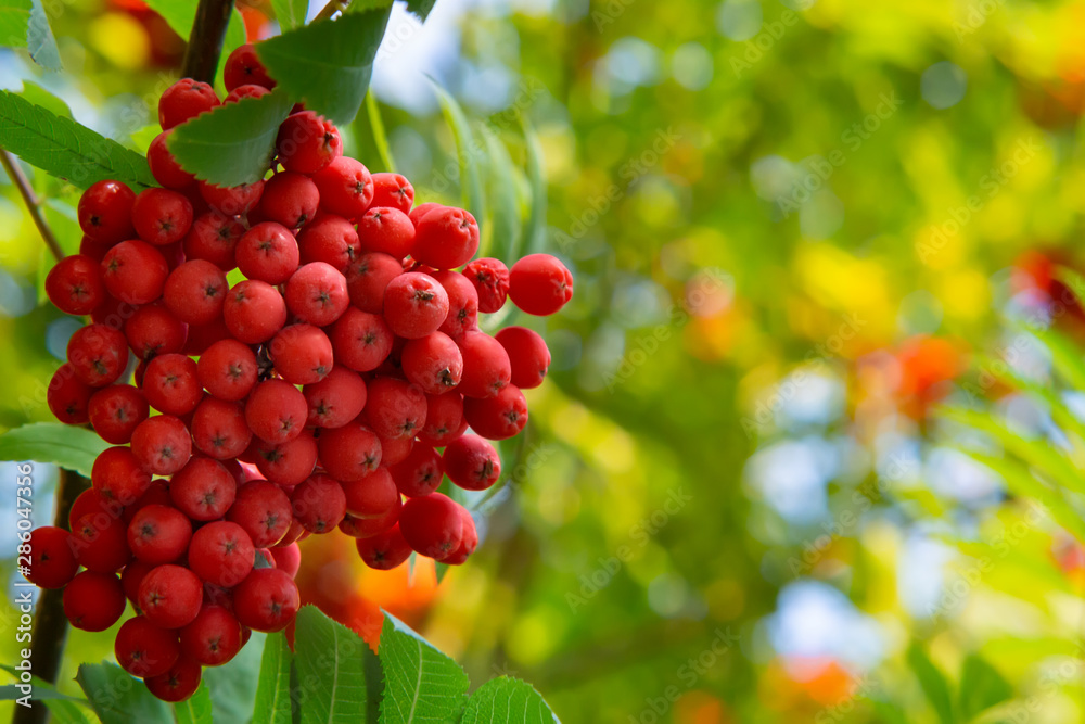 Fototapety, obrazy: Ripe red bunches of rowan on a tree in late summer, close up
