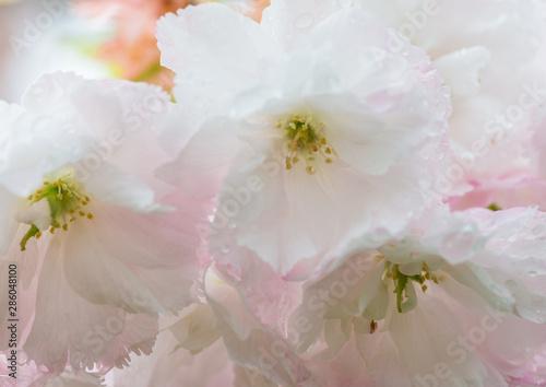 Foto op Plexiglas Kersenbloesem Blossom Buddies