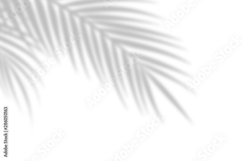 Obraz Shadow from palm leaves on a white wall background. White background, cardboard. Abstract image. Tropic concept - fototapety do salonu