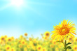 canvas print picture - Sunflowers on blurred sunny background