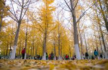 Ginkgo Biloba In Beijing Olympic Forest Park In Autumn