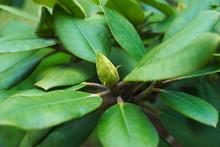 Pąk Rododendronu