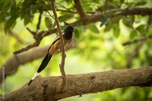 The rufous treepie (Dendrocitta vagabunda) sitting on branch and screaming, nati Wallpaper Mural