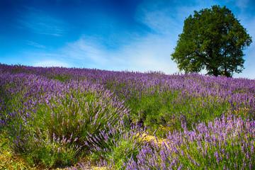 Obraz na Szkle Kwiaty Lavanda Monferrato (AL)