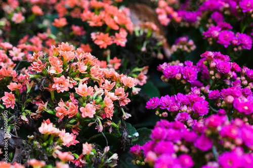 Photo Kalanchoe Blossfeldiana flower plants, Adagio