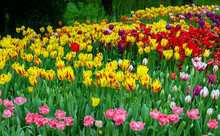 Tulips, Bright Beautiful Color...
