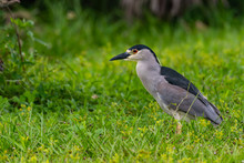 Black Crowned Night Heron Standing In The Tall Grass