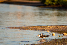 Two Black Skimmers On The  Bea...