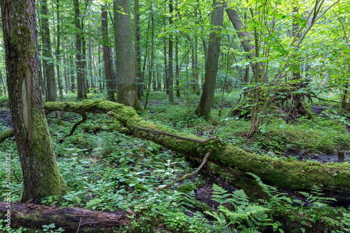 Fotografie, Obraz Group of old trees in summertime tree stand