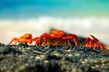 Sally Lightfoot Crabs - Galapa...