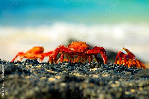 Obraz na plátně  Sally Lightfoot Crabs - Galapagos - Ecuador