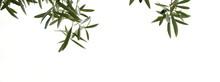 Olivenzweige Mit Oliven, Isoliert Und Freigestellt Vor Hellen Hintergrund