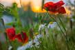 Maki zachód słońca rumianek ciepłe światło polne kwiaty trawa