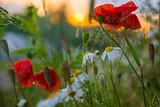 Fototapeta Kwiaty - Maki zachód słońca rumianek ciepłe światło polne kwiaty trawa