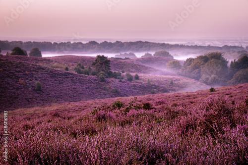 Papiers peints Grenat Posbank netherlands, misty foggy sunrise over the national park Veluwezoom Posbank Netherlands, heather flowers in blooming, purple hills