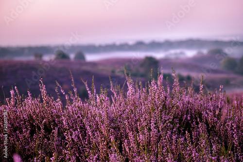 Foto auf Leinwand Aubergine lila Posbank netherlands, misty foggy sunrise over the national park Veluwezoom Posbank Netherlands, heather flowers in blooming, purple hills