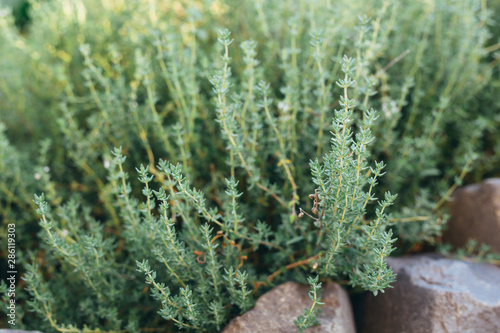 Fototapeta fresh thyme in garden outdoor