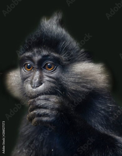 In de dag Aap Black crested mangabey monkey. Black mangabey inhabits the forests of Africa, leads to both terrestrial and arboreal lifestyle. Differs from other species outstanding pointed black crest on the head.