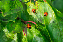 Red Ladybugs On A Green Leaves...