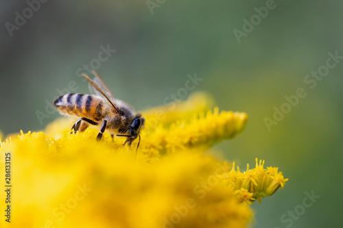 Biene im Abendlicht beim Nektar sammeln Wallpaper Mural