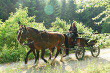 A 60 Year Old Man Drives A Carriage With Two Horses ((Saxon Thuringian Heavy Warm Blood).) The Camera Shows The Side Of The Carriage In The Back Light With Lens Flare.