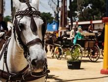 Andalusian Horse In Feria Del Caballo, Jerez De La Frontera (Cadiz, Spain)