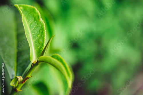 Green tea leaves in a tea plantation in morning Canvas Print