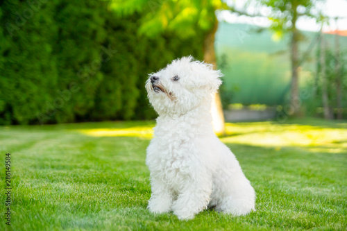 Fototapeta Bichon Frise dog sitting on the grass in garden