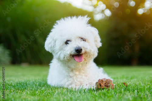 Fotografija Bichon Frise dog lying on the grass with its tongue out