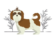 Cute Shih Tzu Dog On White Background