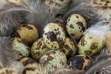 Close Up Of Quail Eggs In Nest