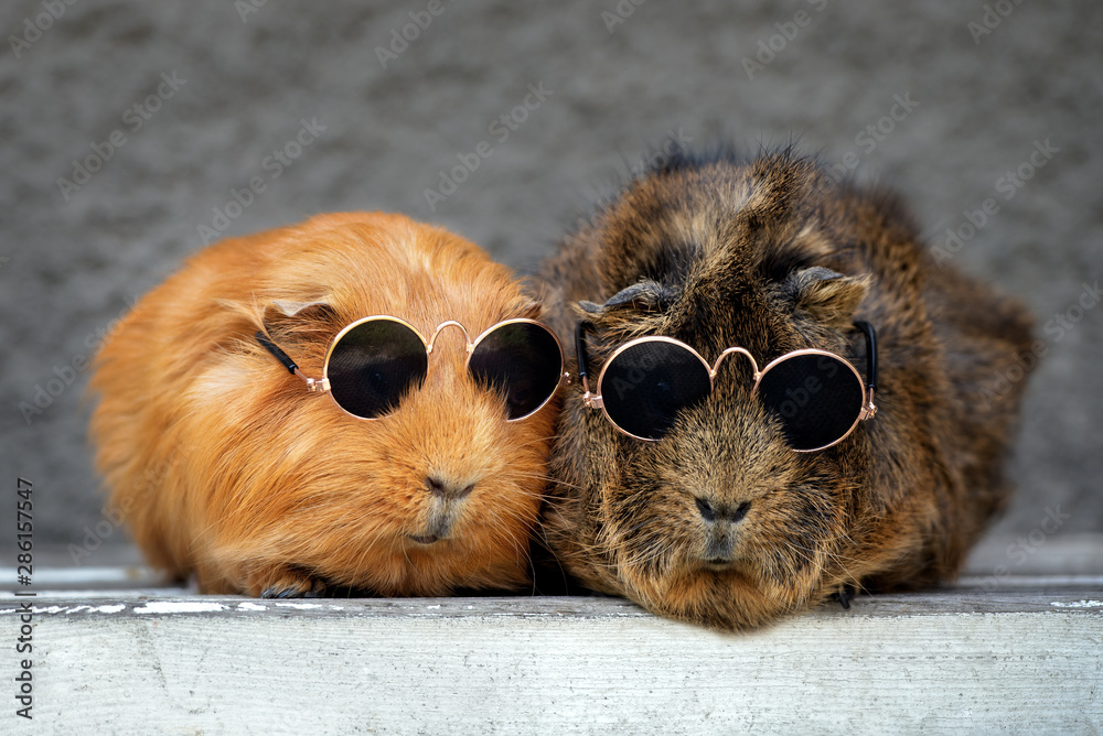 Fototapeta two funny guinea pigs in sunglasses
