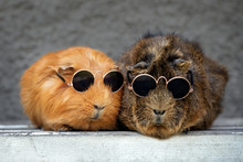 Two Funny Guinea Pigs In Sungl...