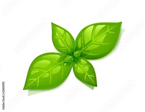 Obraz Green Basil Leaf. Top view. Isolated on White Background. Plant with leaves. Herbal organic product. Cooking spicy ingredient. Eps10 vector illustration. - fototapety do salonu