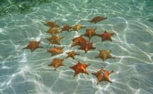 Several Red Cushion Starfish U...