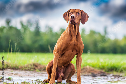 Foto Portrait of a magyar vizsla seated on its hind legs close-up.