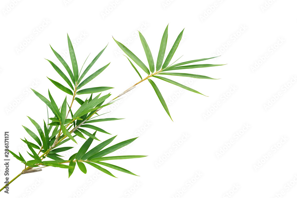 Bamboo twig with green leaves the ornamental forest garden plant isolated on white background, clipping path included.