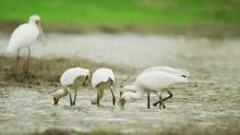 Spoonbill - Flock Hunting For Food Medium Shot 2