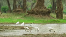 Spoonbill - Flock Hunting For Food Wide Shot