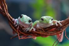 Australian White Tree Frog On Branch