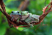 Australian White Tree Frog On Branch