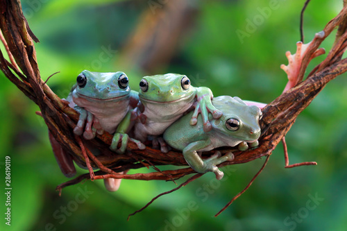 Fotobehang Kikker Australian white tree frog on branch