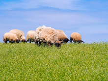 A Herd Of Cute Little Lambs And Sheep On Fresh Green Meadow In The Dutch Dike. Animals Walk On Field And Eats Grass. Sheep Grazing Stream Landscape. Spring Views