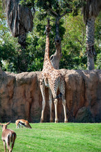 Giraffe Reaching For Food In Bioparc Valencia