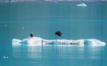 Eagles On Ice: Bald Eagles On ...