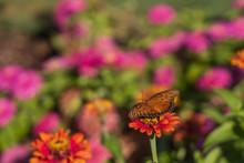 Gulf Fritillary Butterfly On Z...