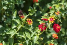 Horace's Duskywing Butterfly On Lantana, Close-up