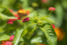 Fiery Skipper, Butterfly Sitting On Lantana Flowers, Close-up
