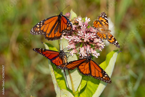 3 Monarch Butterflies and 1 Painted Lady Butterfly on a Milkweed Bloom in Shenandoah National Park